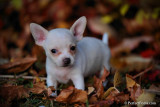 cute teacup chihuahua puppy for free