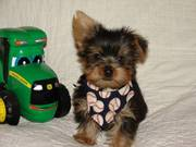 Top Quality Yorkie Puppies For Adoption