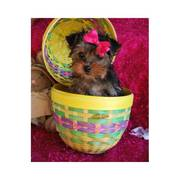 Male and Female yorkies available