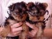 Adorable Male And Female Yorkie Puppies For Free Adoption.