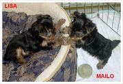 Cute And Healthy Yorkie Puppies For Rehoming
