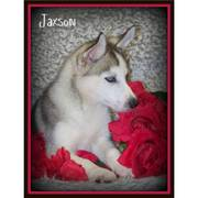 lovely siberian husky for sale