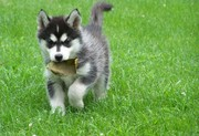 Lovely Male and Femali Siberian Husky  Puppies for adoption